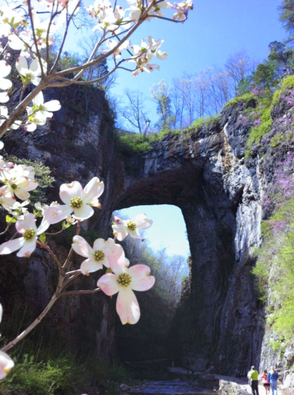 Natural Bridge Dogwood Blooming